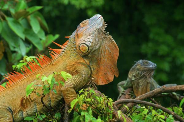Green Iguana Wall Art - Photograph - Green Iguanas (iguana Iguana by Andres Morya Hinojosa