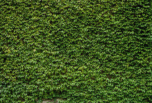 Wall Art - Photograph - Green Ivy Leaves Wall 1 by #name?