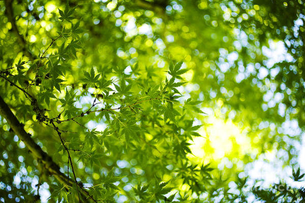 Photograph - Green Japanese Maple by Charmian Vistaunet
