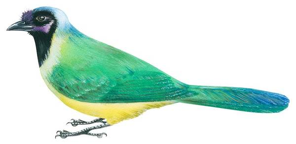 Full Length Drawing - Green Jay by Anonymous