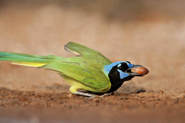 Acorn Wall Art - Photograph - Green Jay (cyanocorax Yncas by Larry Ditto
