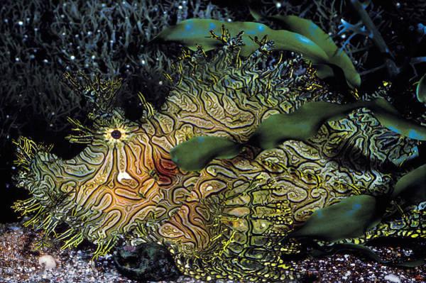 Wildlife Er Photograph - Green Lace Scorpionfish by ER Degginger