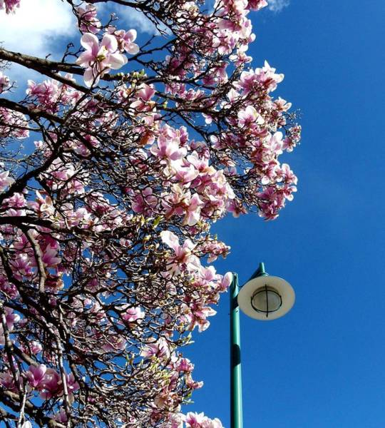 Wall Art - Photograph - Green Lamp Standard And Magnolias by Will Borden