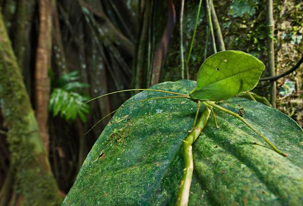 Photograph - Green Leaf Katydid by Francesco Tomasinelli