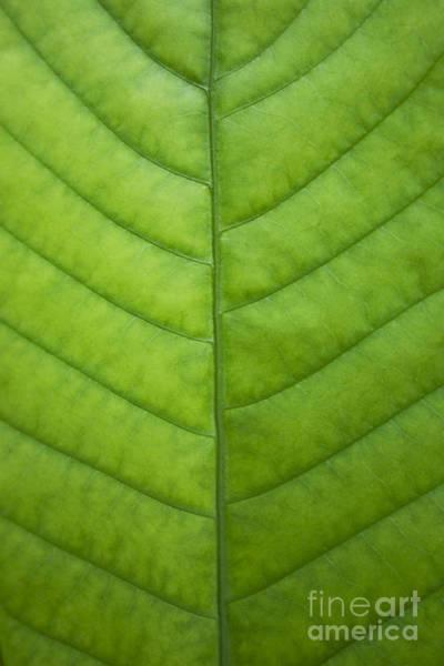 Photograph - Green Leaf Veins by Charmian Vistaunet