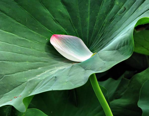 Photograph - Green Lotus Leaf by Daliana Pacuraru