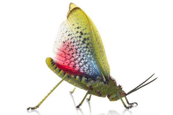 Photograph - Green Milkweed Locust Dispalying by Piotr Naskrecki