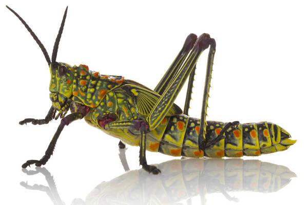 Photograph - Green Milkweed Locust Gorongosa by Piotr Naskrecki