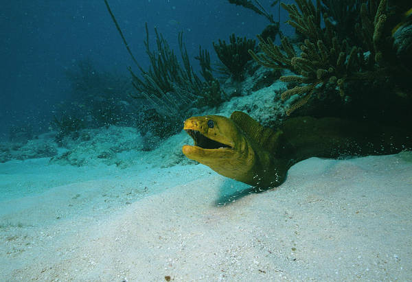 Wall Art - Photograph - Green Moray Eel by Jim Edds/science Photo Library