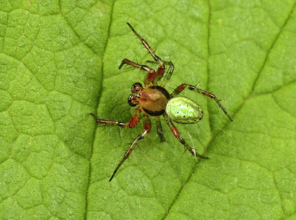 Orb Weaver Photograph - Green Orb-weaver Spider by Nigel Downer