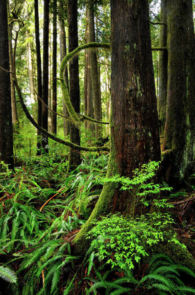 Vancouver Island Photograph - Green Rainforest With Curved Branches by Rezus