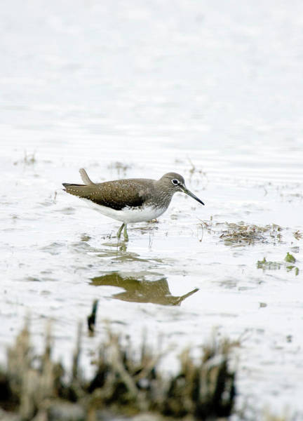 Sandpiper Photograph - Green Sandpiper by John Devries/science Photo Library