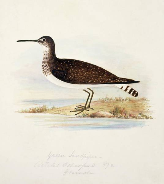 Sandpiper Photograph - Green Sandpiper by Natural History Museum, London/science Photo Library