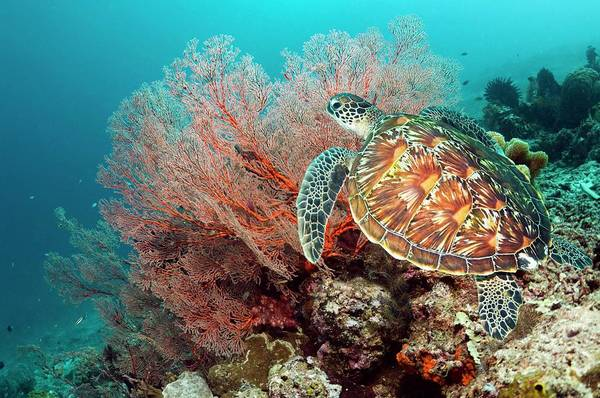 Herbivorous Photograph - Green Sea Turtle And Gorgonian by Georgette Douwma