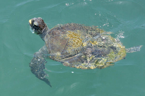 Photograph - Green Sea Turtle by Bradford Martin
