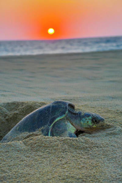 Jalisco Photograph - Green Sea Turtle Laying Eggs, Hotelito by Douglas Peebles