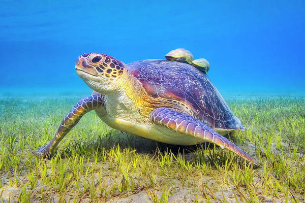Cute Photograph - Green Sea Turtle Near Marsa Alam , Egypt by Cinoby