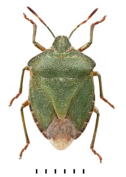 Invertebrata Wall Art - Photograph - Green Shield Bug by Natural History Museum, London