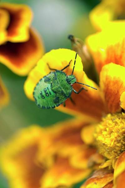 Shield Photograph - Green Shield Bug Nymph by David Aubrey