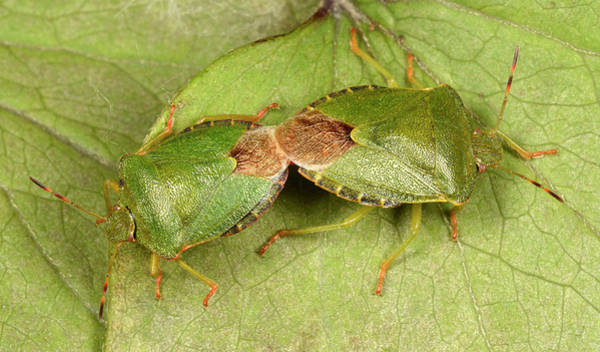 Imago Photograph - Green Shield Bugs Mating by Nigel Downer