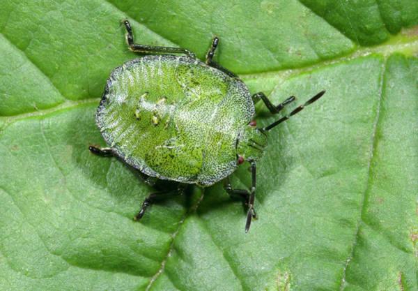 Entomological Photograph - Green Shieldbug Larva by Nigel Downer