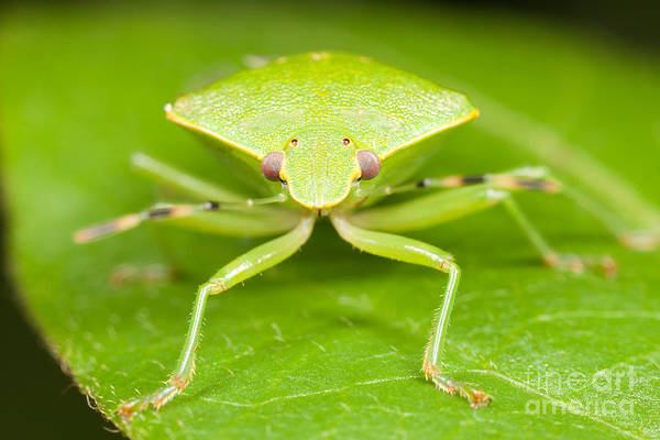 Photograph - Green Stink Bug by Clarence Holmes