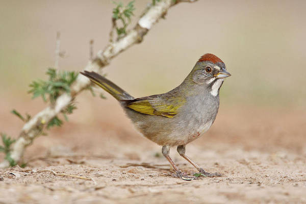 Forage Wall Art - Photograph - Green-tailed Towhee (pipilo Chlorurus by Larry Ditto