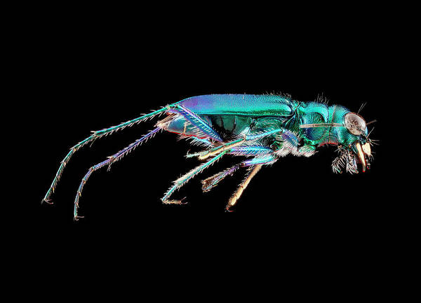 Image Stacking Photograph - Green Tiger Beetle by Us Geological Survey