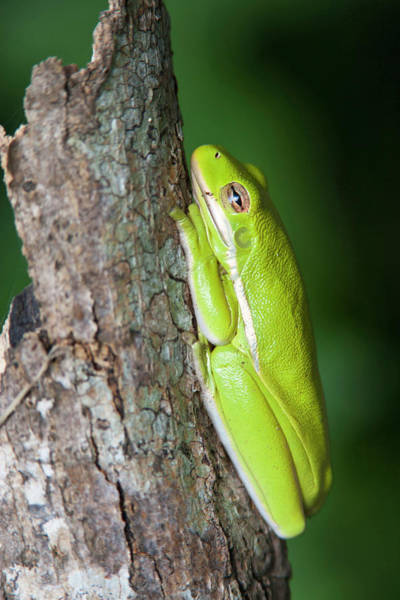 Hyla Wall Art - Photograph - Green Tree Frog (hyla Cinerea by Larry Ditto
