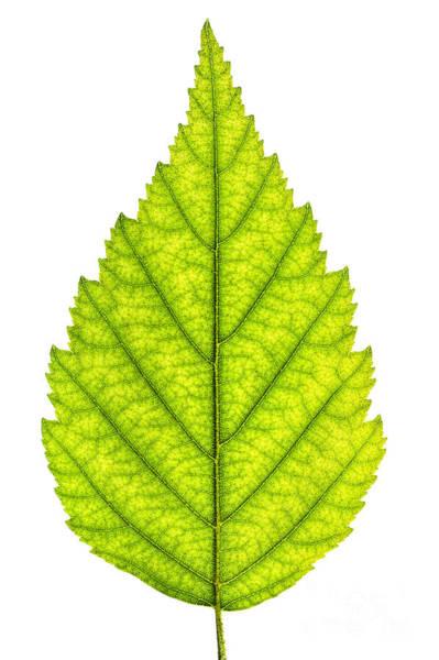 Wall Art - Photograph - Green Tree Leaf by Elena Elisseeva