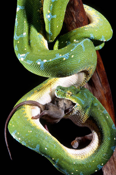 Wall Art - Photograph - Green Tree Python by F. Stuart Westmorland