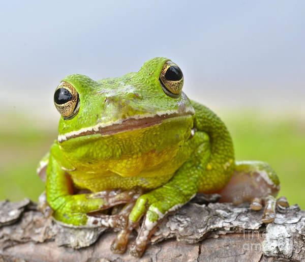 Photograph - Green Treefrog by John Serrao