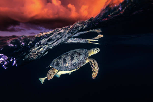 Wall Art - Photograph - Green Turtle And Sunset - Sea Turtle by Barathieu Gabriel