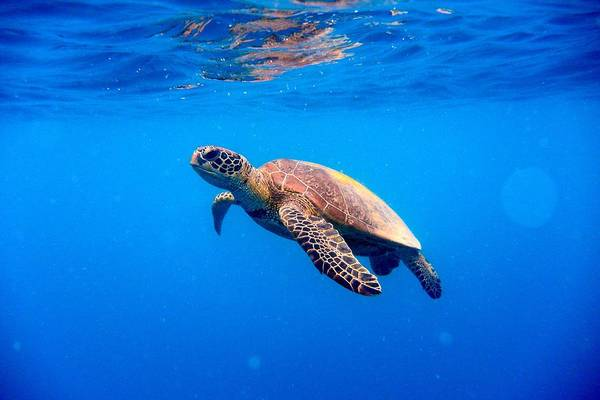 Underwater World Photograph - Green Turtle Approaching Water Surface by Searsie
