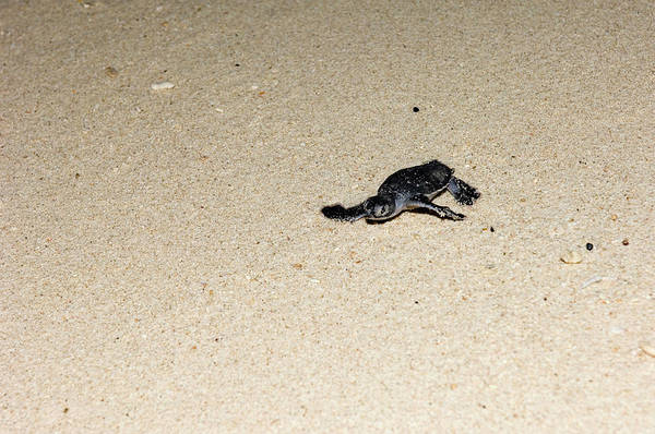 Wall Art - Photograph - Green Turtle Hatchling by Matthew Oldfield/science Photo Library
