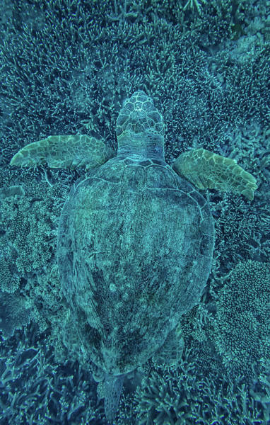 Photograph - Green Turtle Hidden In Coral by Greg Sullavan