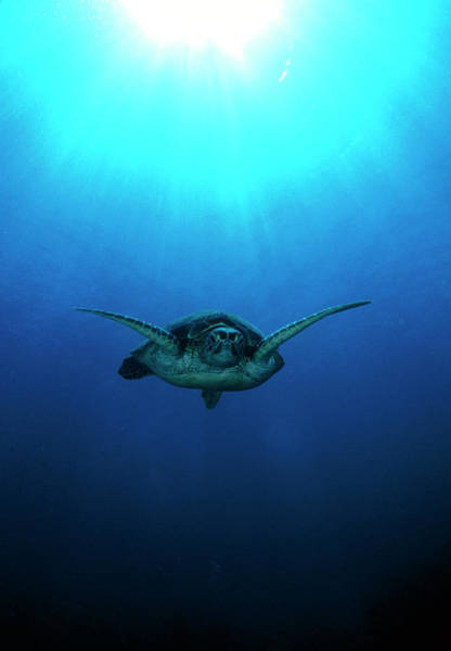 Turtle Photograph - Green Turtle by Matthew Oldfield/science Photo Library