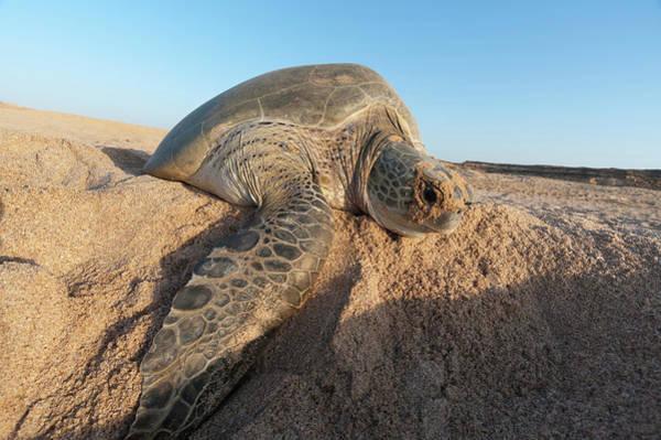 Wall Art - Photograph - Green Turtle, Ras Al Jinz, Oman by Sergio Pitamitz