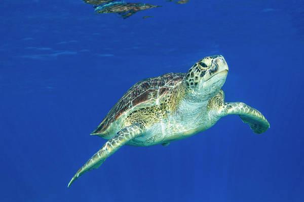 Green Turtle Swimming In Clear Ocean Art Print