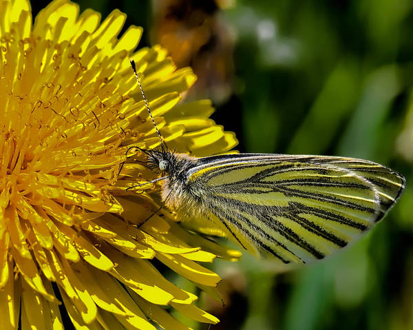 Photograph - Green-veined White Butterfly Collecting Nectar From A Flowering Yellow Dandelion. by Leif Sohlman