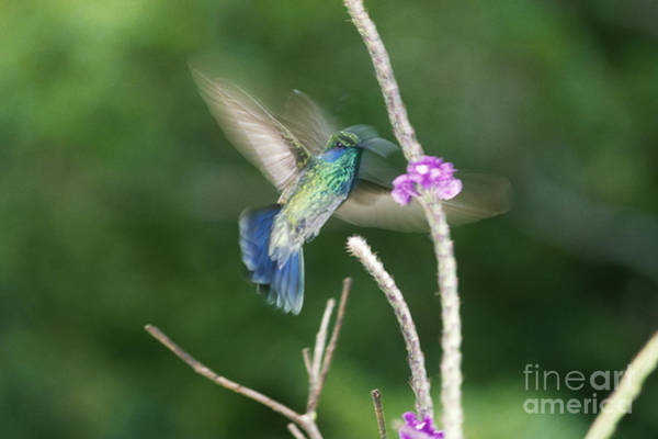 Colibri Photograph - Green Violet-ear Hovering At Flower by Gregory G. Dimijian, M.D.