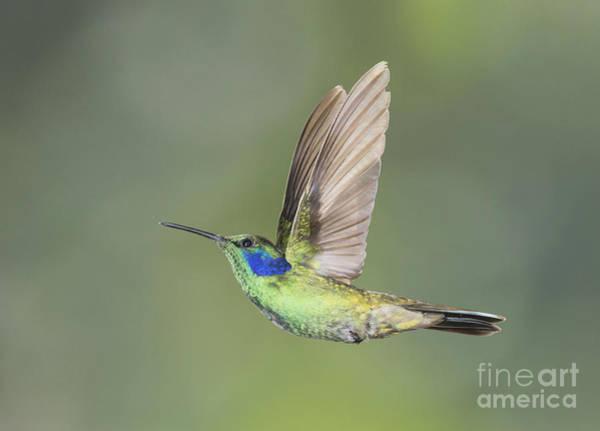 Photograph - Green Violet-ear Hummingbird by Dan Suzio