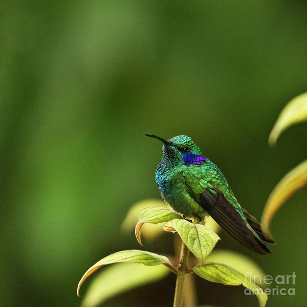 Green Violetear Hummingbird Art Print