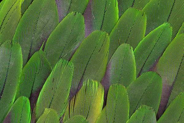 Coverts Photograph - Green Wing Feathers Of A Parrot by Darrell Gulin