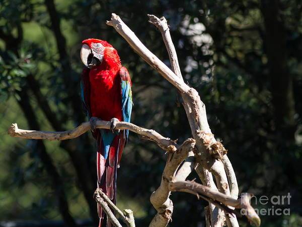 Photograph - Green Winged Macaw 7d9128 by Wingsdomain Art and Photography