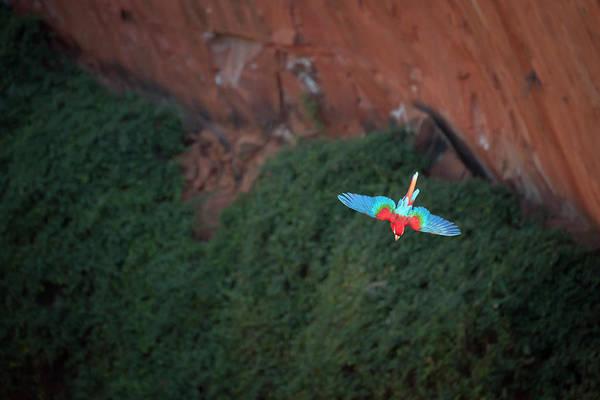 Green-winged Macaw In Flight Ara Art Print by Sean Caffrey