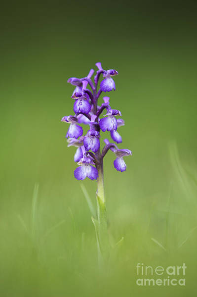 Orchis Photograph - Green Winged Orchid by Tim Gainey