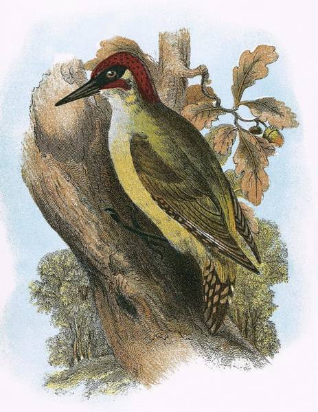 Ornithology Photograph - Green Woodpecker by English School