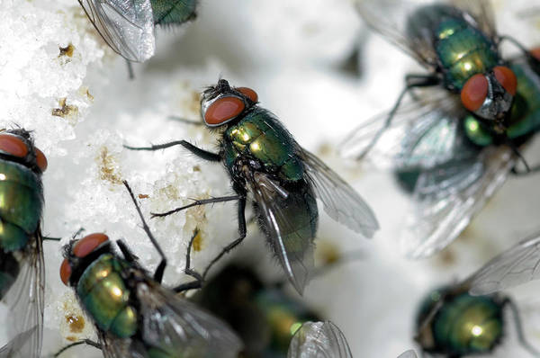 Bottle Green Photograph - Greenbottle Flies Feeding by Louise Murray/science Photo Library