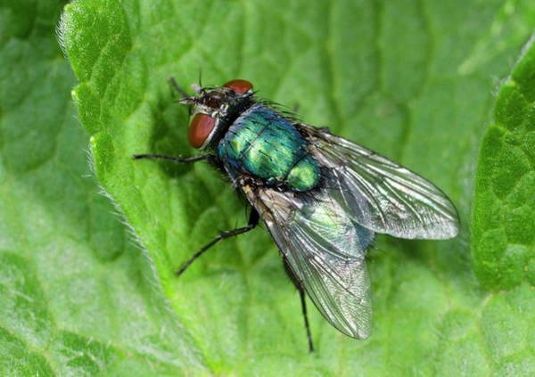 Entomology Photograph - Greenbottle by Nigel Downer